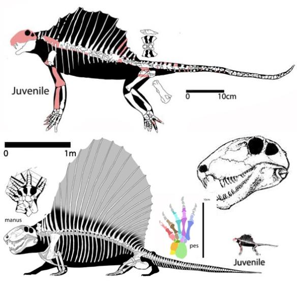 Figure 1. Dimetrodon adult, juvenile, skull, manus, pes.