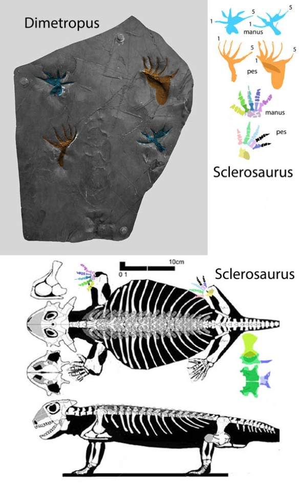 Figure 1. Early Permian Dimetropus tracks matched to Middle Triassic Sclerosaurus, one of the few turtle-lineage pareiasaurs for which hands and feet are known.