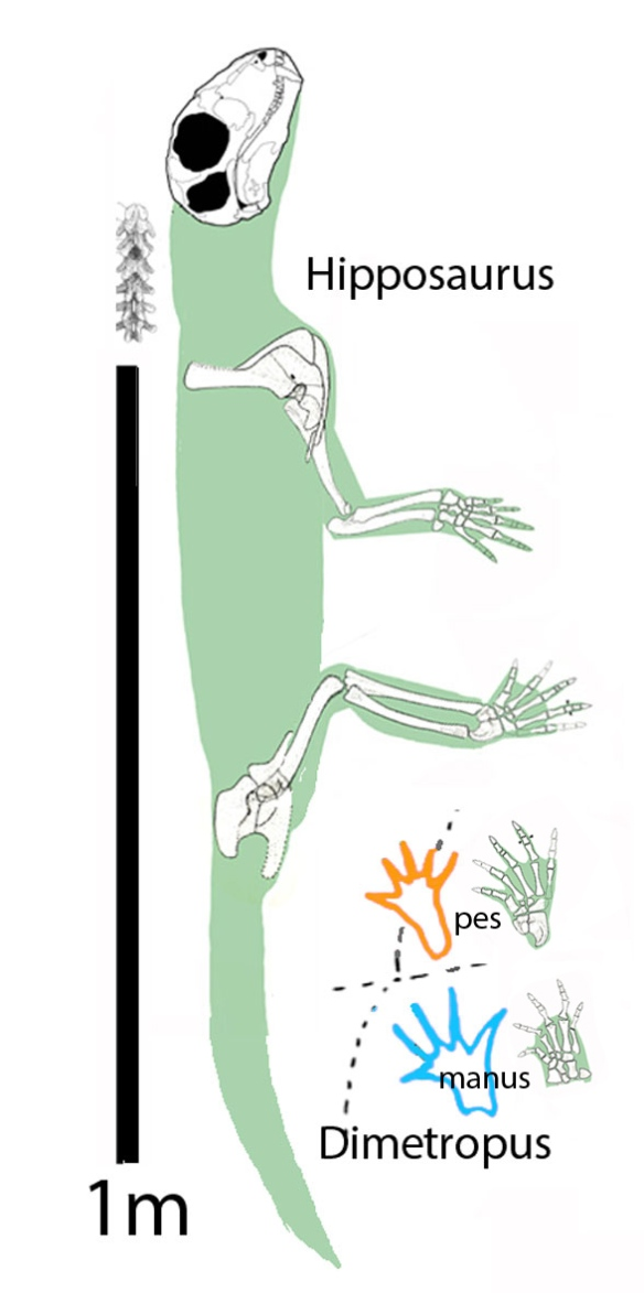 FIgure 3. Hipposaurus compared Dimetropus. The overall and leg length is right, as are many of the digits. Unfortunately the medial digits are too short in Hipposaurus. Hipposaurus has a narrower gauge and lifted its belly of the ground, as did the Dimetropus trackmaker.