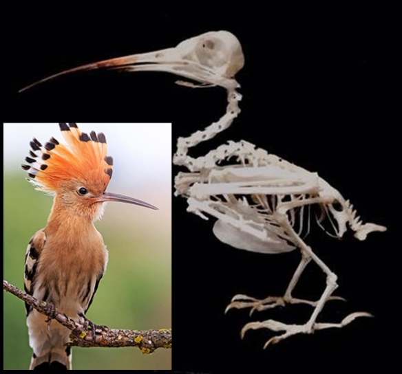 Figure 1. Hoopoe (genus: Upupa) in vivo and as a skeleton.