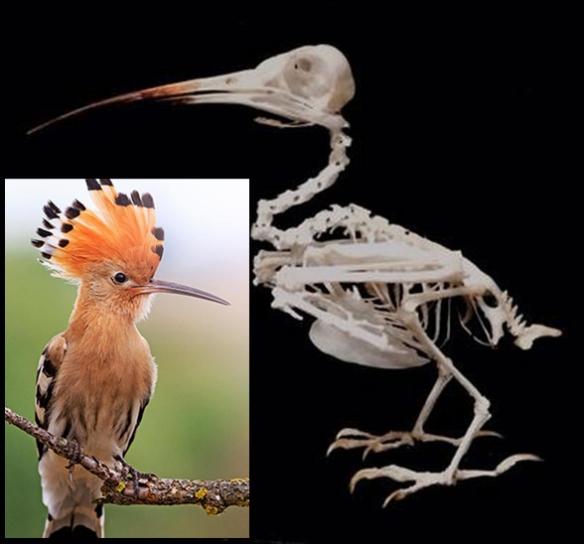 Figure 1. Hoopoe (genus: Upupa) in vivo and as a skeleton.
