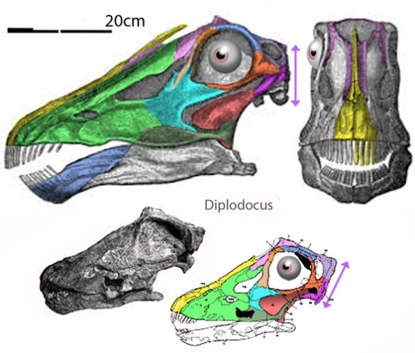 Figure 5. A small Diplodocus skull to scale with an adult one.