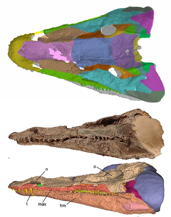 Figure 1. Laosuchus in dorsal and lateral views. Colors added with some difficulty here as all the bones are fused and their surfaces are ornamented.