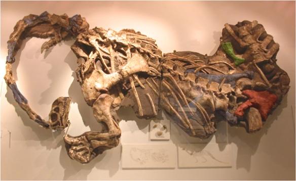 FIgure 4. Massospondylus adult in situ.