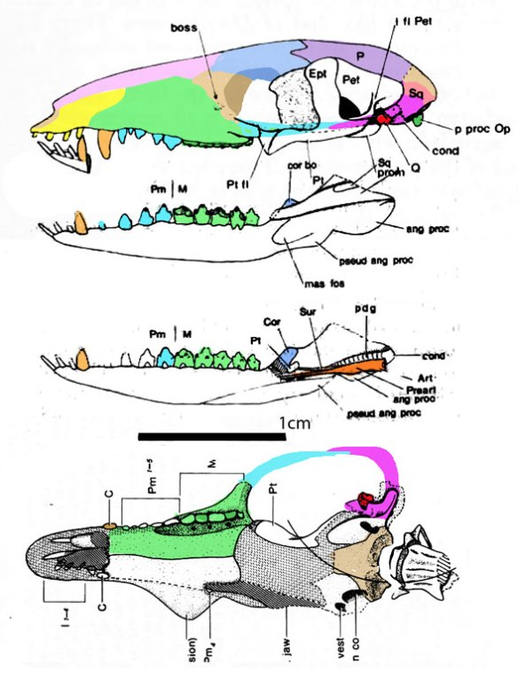 Figure 1. Megazostrodon skull in several views. Drawings from Gow 1986. Colors applied here.
