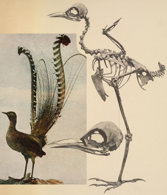 Figure 6. The lyrebird, Menura, nests close to the one BoP in the LRT.