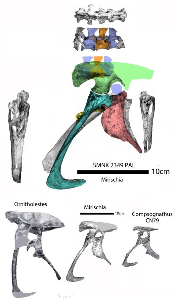 Figure 1. The pelvis of Mirischia with color overlays and ilium correctly oriented. Below Mirischia pelvis compared to the CN79 specimen of Compsognathus and Ornitholestes.