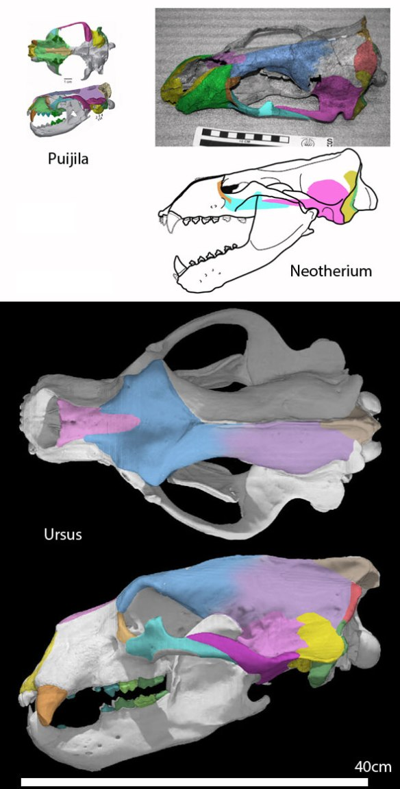 Figure 2. Neotherium and the origin of bears in the LRT. Puijila is a last common ancestor.