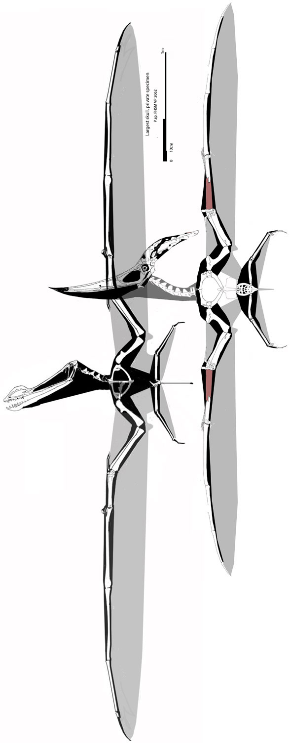 Figure 5. Largest Pteranodon to scale with largest ornithocheirid, SMNS PAL 1136.