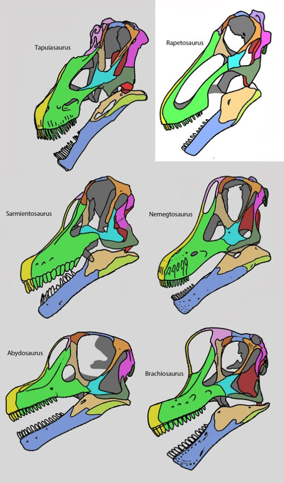 Figure 2. Rapetosaurus skull compared to other sauropods.