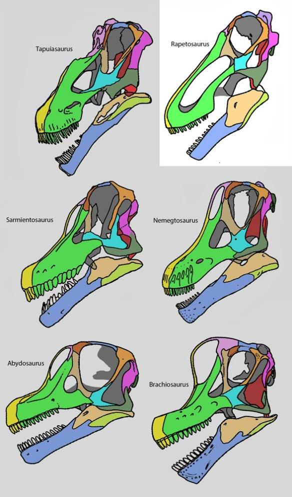 Figure 2. Rapetosaurus skull compared to other sauropods.