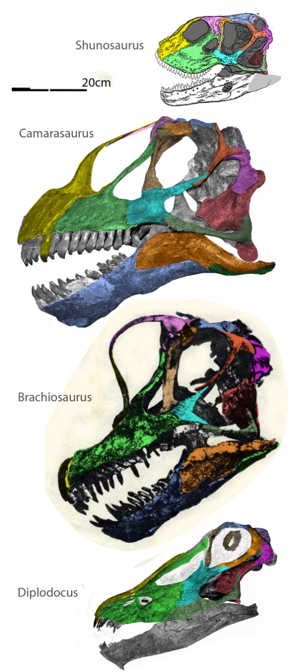Figure 1. Several sauropod skulls to scale with DGS colors on the bones. Here are Shunosaurus, Camarasaurus, Brachiosaurus and Diplodocus.