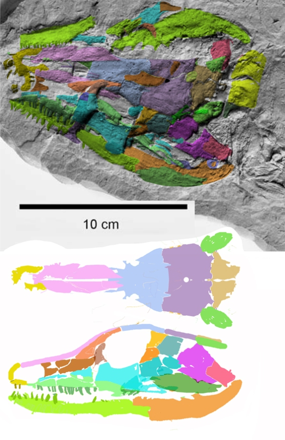 Figure 4. Solenodonsaurus skull in situ and reconstructed. That brown bone on top of the frontal/parietal suture is a displaced lacrimal that nicely fills the gap in the reconstruction.