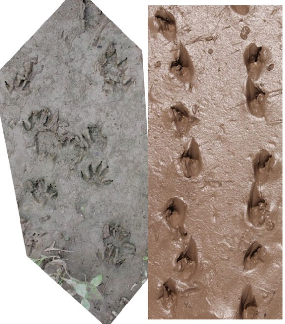 Figure 2. Snapping turtle tracks in mud. Note the relatively narrow gauge and symmetric imprints.