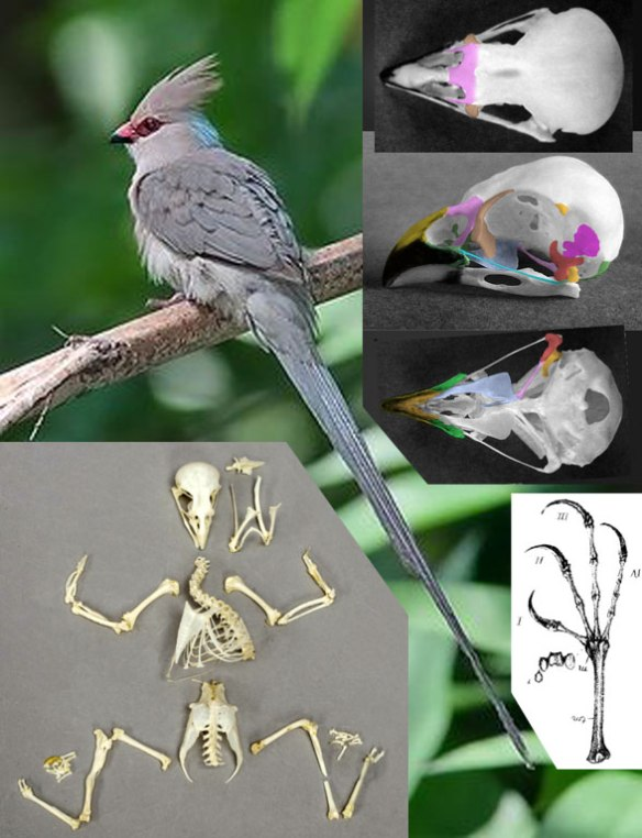Figure 1. Urocolius, the blue-napes mousebird, converges with parrots in having a reversible toe 4, the ability to feed upside-down and having a short, deep, hooked beak...plus that long parrot-like tail!