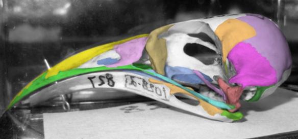 FIgure 3. Skull of Semioptera wallacii has basic cuckoo clade features.