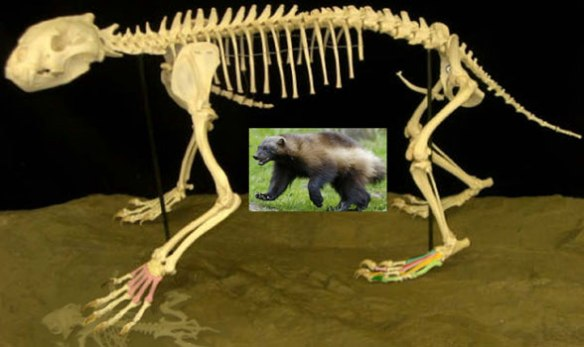 Figure 2. Long-legged Gulo, the wolverine, is most similar to Arctodus, the short-faced bear in the LRT.