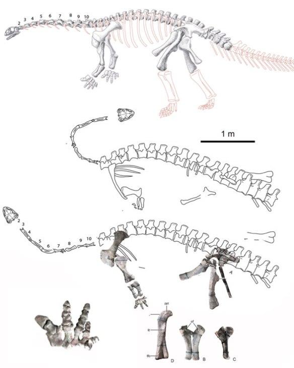 Figure 1. Yizhousaurus is an early Jurassic basal sauropod.