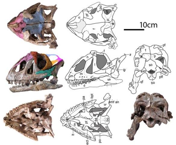 Figure 2. Skull of Yizhousaurus in several views.