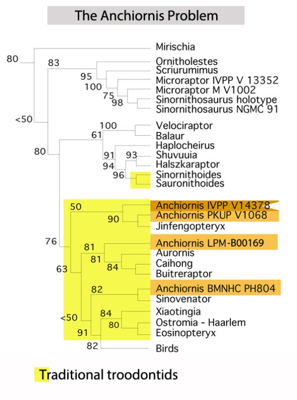 Figure 2. Cladogram of taxa surrounding four specimens attributed to Anchiornis, which do not nest together in the LRT.