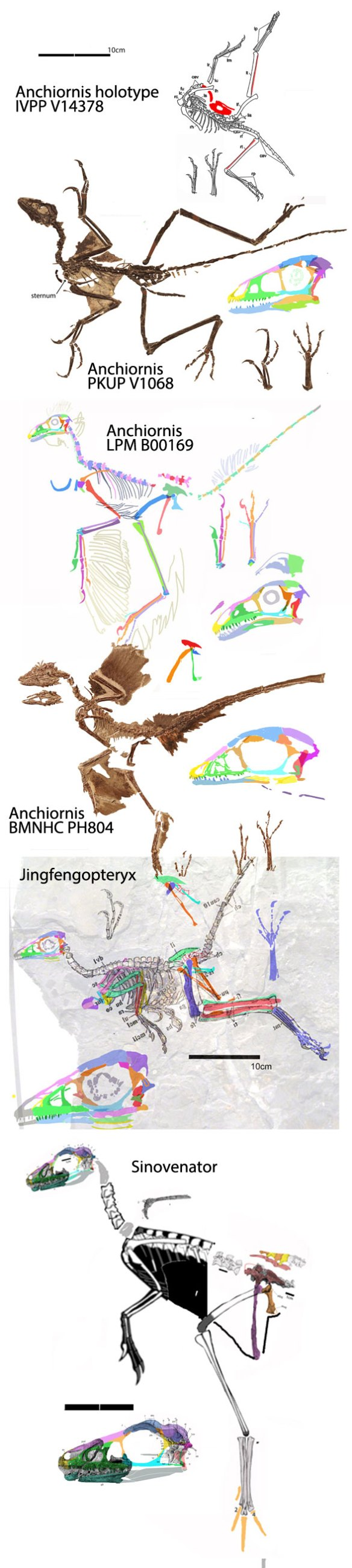 Figure 1. Four specimens attributed to Anchiornis. Two of these nest apart from two others (see figure 2).