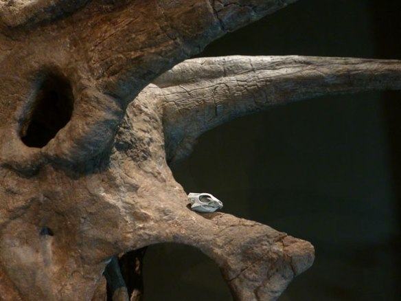Figure 1. Tiny Aquilops sits atop the nasal of its descendant, Triceratops, in this Sam Noble Museum photo.