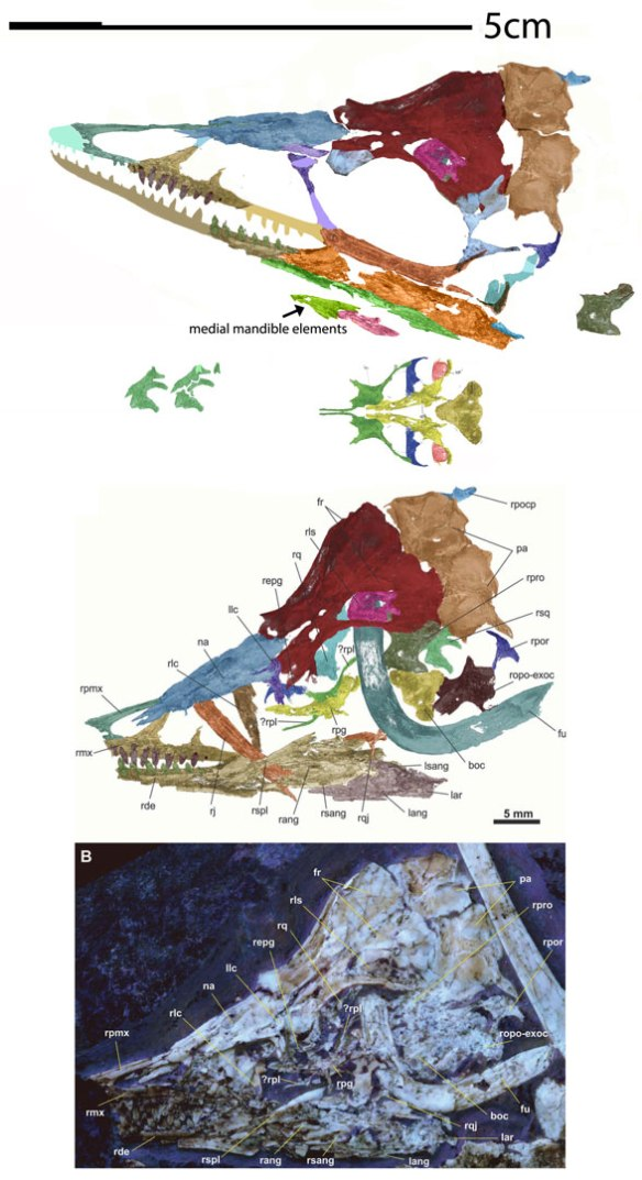 Figure 2. The skull of the Daiting specimen wrongly attributed to Archaeopteryx reconstructed from µCT scans.