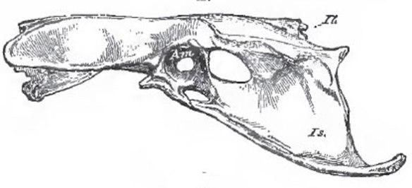 Figure 2. Unidentified bird pelvis. Note the semi-closed acetabulum.