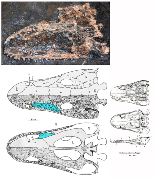 igure 1. Cochleosaurus in situ and restored by Rieppel 1980 and Godfrey and Holmes 1995. Here the septomaxilla is reidentified as the lacrimal and the lacrimal is the palatine exposed on the surface as in all sister taxa of its clade.