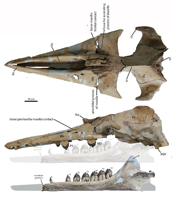 Figure 1. Coronodon, was originally considered a toothed mysticete, but only in the absence of desmostylians, the real ancestors of mysticetes.