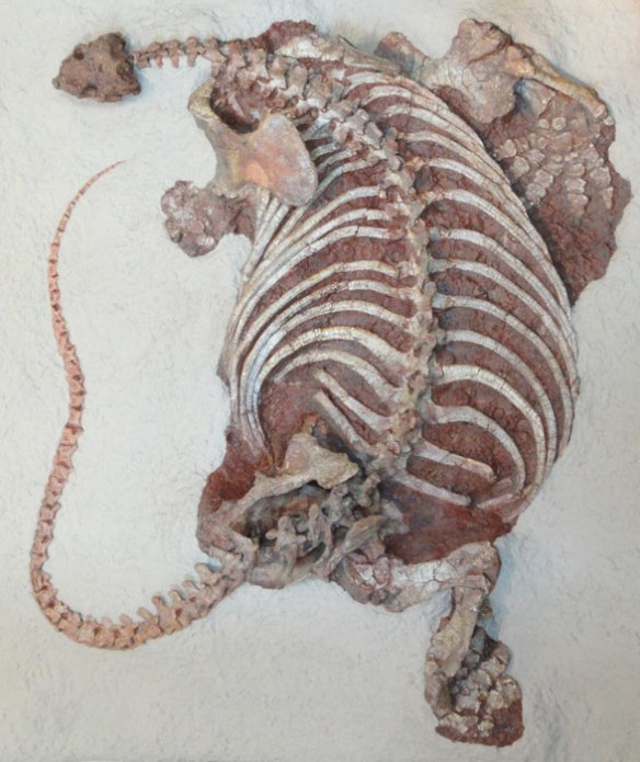 Figure 1. Cotylorhynchus AMNH specimen. Note the angle of the ribs.