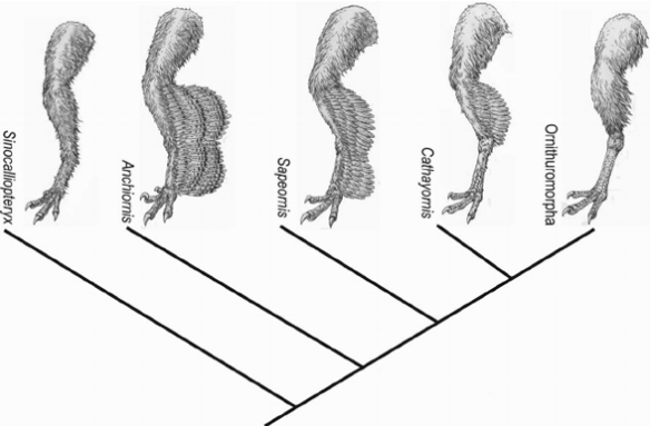 FIgure 1. From Zheng et al. 2013 showing the maximum extent of hind leg feathers in Anchiornis.