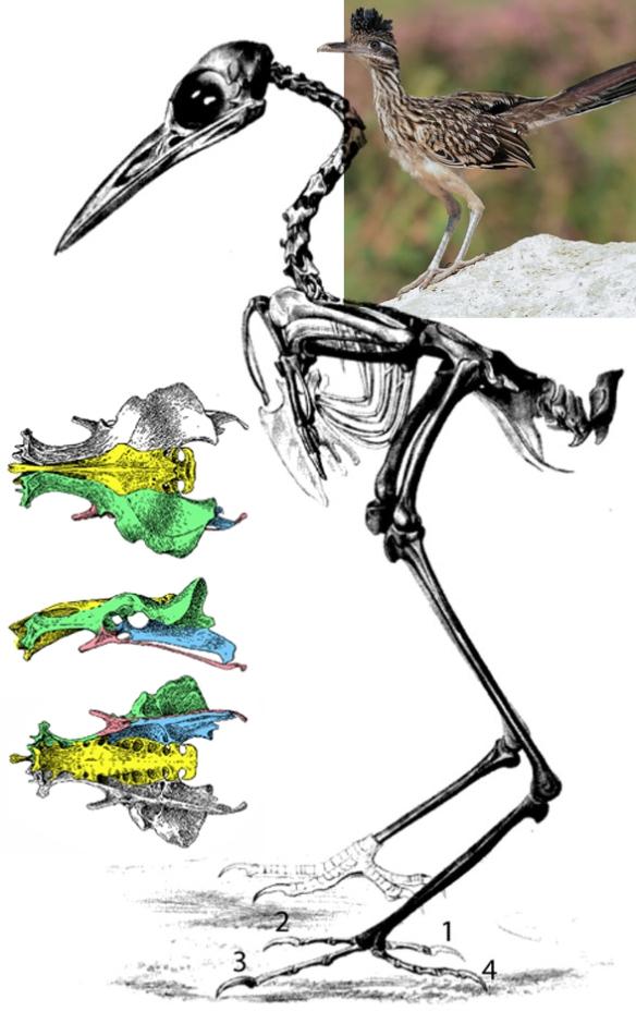 Figure 2. Geococcyx the roadrunner skeleton. Pelvis in several views.