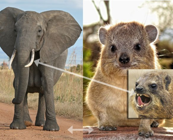 Figure 4. The small furry hyrax is in the lineage of the large naked elephant, analogous to small feathery theropods and large naked theropods. The fingers and incisors already show similarities.