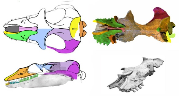 Figue 1. Mammalodon nests within the clade Anthracobune basal to desmostylians and mysticetes.