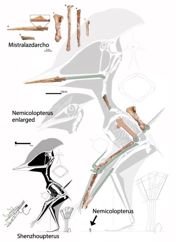 Figure 1. Mistralazhdarcho compared to reconstructions of Shenzhoupterus and Nemicolopterus.