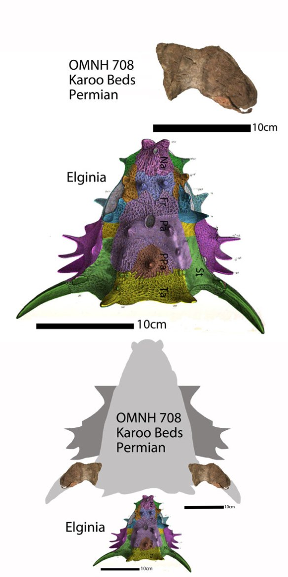 Figure 3. Elginia and OMNH 708 at two scales.