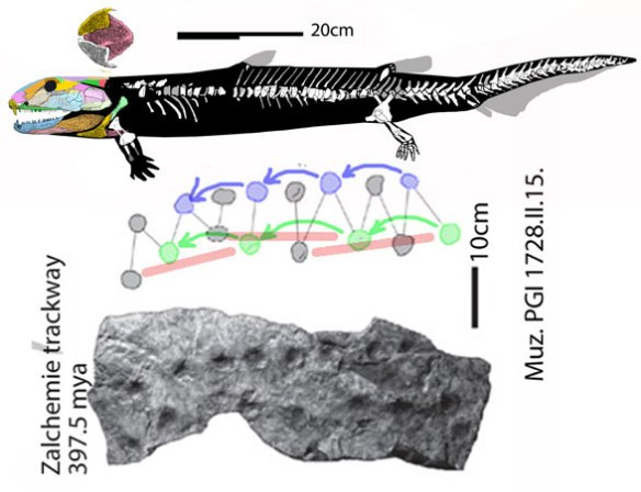 Figure 1. The Early Carboniferous limbed osteolepid, Pholidogaster,  compared to Middle Devonian Zalchemie tracks to scale.