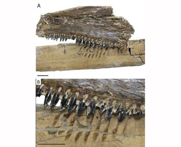 Figure 1. Fish teeth compared to grazed Pteranodon metacarpal