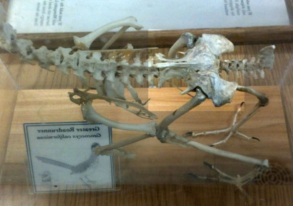 Figure 1. Roadrunner (genus: Geococcyx) in dorsal view from the Sam Noble Museum in Norman OK USA.
