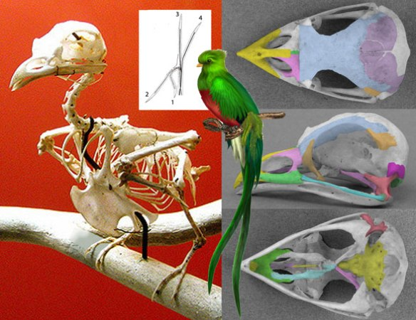 Figure 1. Quetzalcoatlus (a type of trogon, genus: Pharomachrus mocinno) skeleton, skull and invivo presentation.