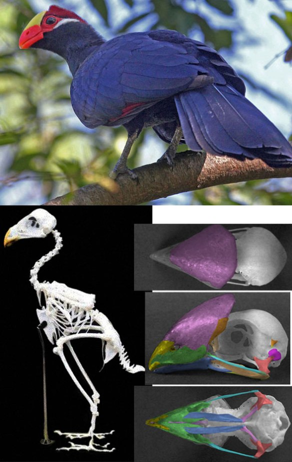 Figure 1. The violet turaco (genus: Musophaga) with its skull and a related skeleton.