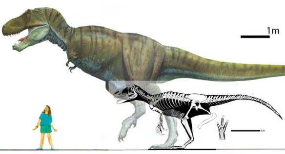 Figure 1. Late Cretaceous Tyrannosaurus, which has scales, to scale with Early Cretaceous allosaurid, Yutyrannus, which has filaments.