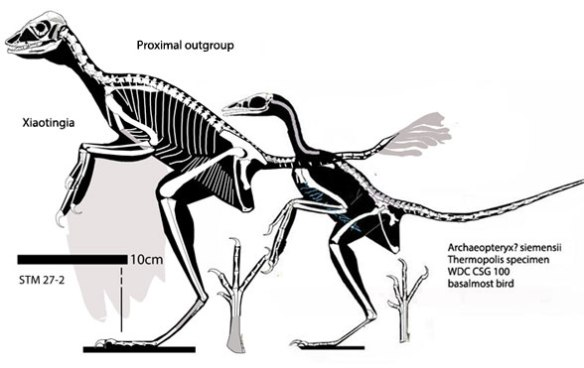 Figure 1. Xiaotingia, the proximal outgroup to the Thermopolis specimen of Solnhofen birds, the basalmost bird.