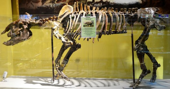 Fig. 1. Aceratherium skeletal mount. This hornless rhino is transitional to brontotheres, not indricotheres (= paraceratheres).