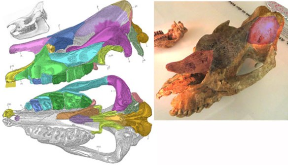 Figure 2. Aceratherium acutum skull drawing and fossil.