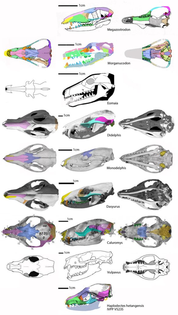 Figure 3. A selection of Therian skulls leading to placentals. This is the 'gradual accumulation of traits' recovered by the LRT.