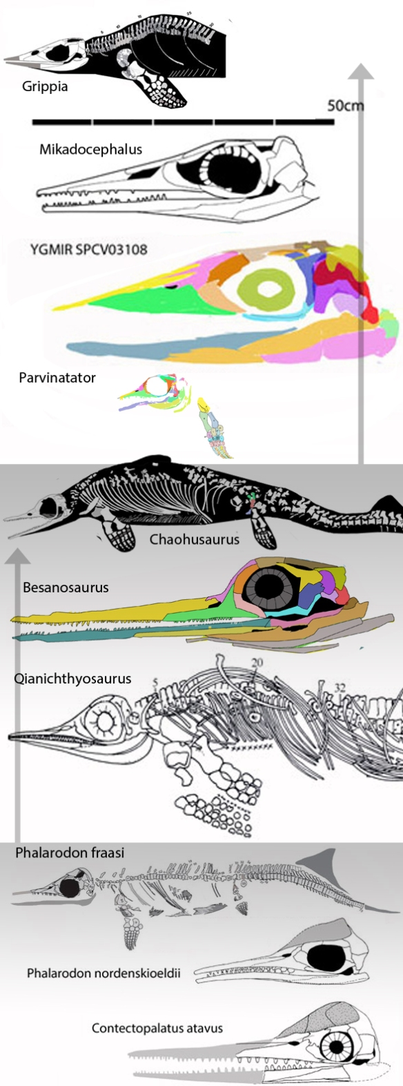 Figure 3. Members from three clades within Ichthyosauria.
