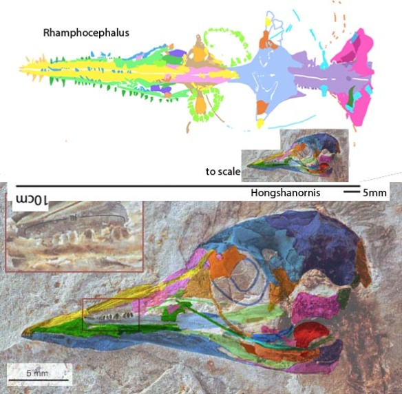 Figure 2. Rhamphorcephalus in situ compared to Hongshanornis in situ to scale and enlarged to match.