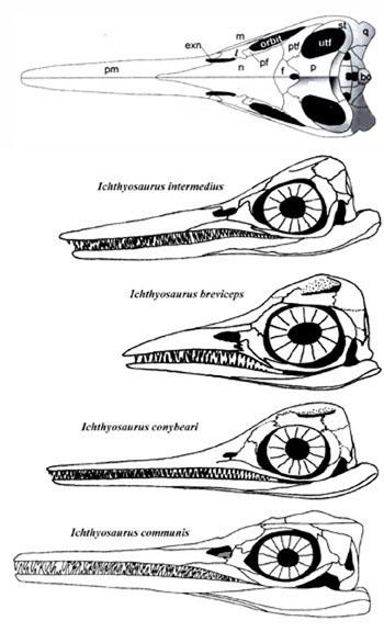 Figure 3. Various ichthyosaur skulls attributed to Ichthyosaurus
